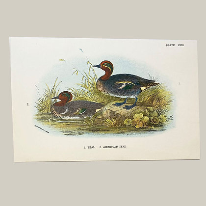 Teal & American Teal, Small Plate Print -1893