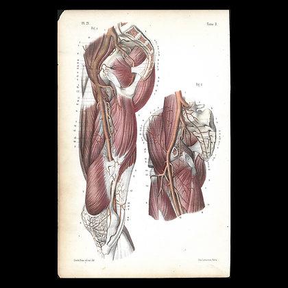 Plate 21 Arteries of Buttock & Thigh. Original 1847 Print.