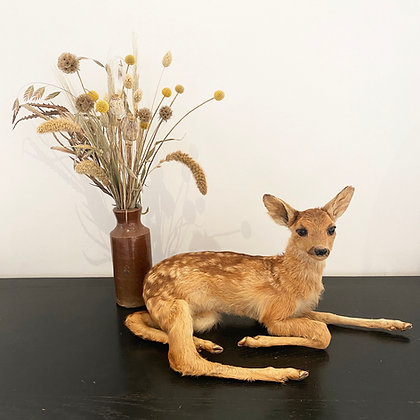 Taxidermy Fallow Deer Fawn