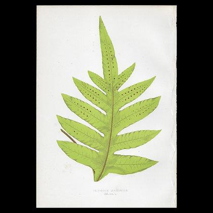 Polypodium lepidopudum - Circa 1860 Print