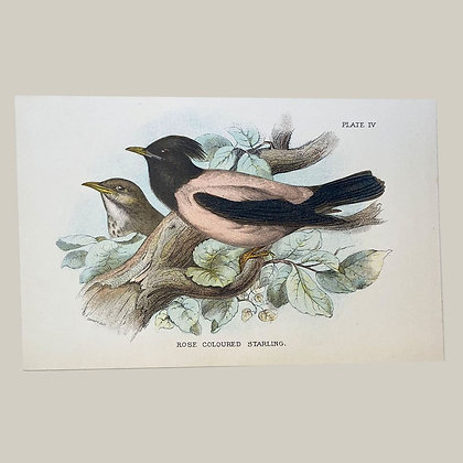 Rose Coloured Starling, Small Plate Print -1893