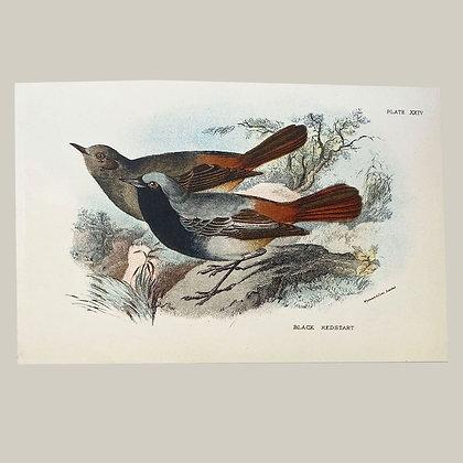 Black Redstart, Small Plate Print -1893