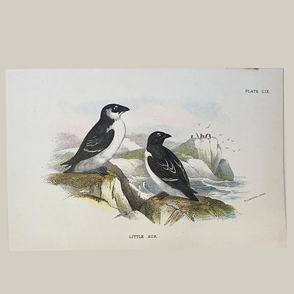 Little Auk, Small Plate Print -1893