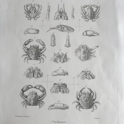 Oxyrhynques - 1861 Plate 24