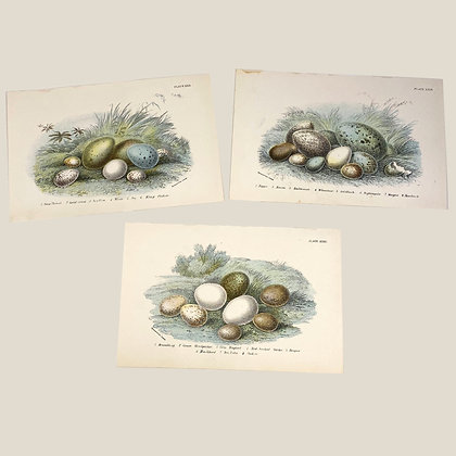 Bird Eggs  - 3 Plate Prints. 1893