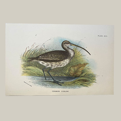 Common Curlew, Small Plate Print -1893