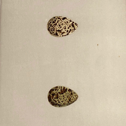 Grey Phalarope and Red Necked Phalarope, Egg Print Circa 1890