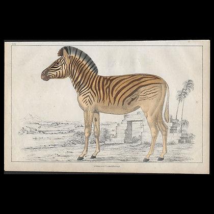 Zebra - 1858 Hand Watercoloured Print