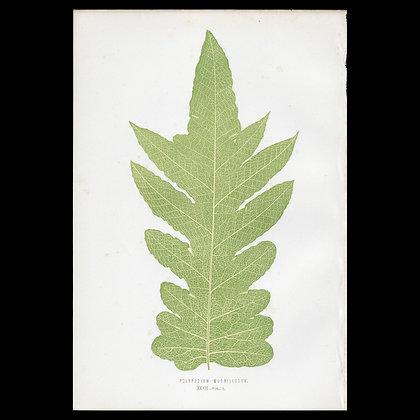 Polypodium morbillosum - Circa 1860 Print