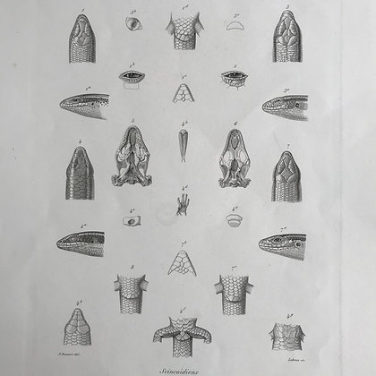 Scincoidiens - 1861 Plate 22 F