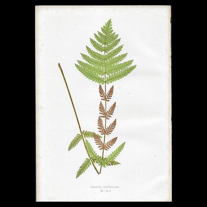 Osmunda claytoniana - Circa 1860 Print