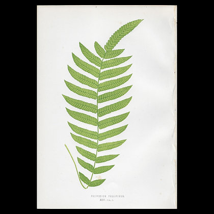 Polypodium proliferum - Circa 1860 Print