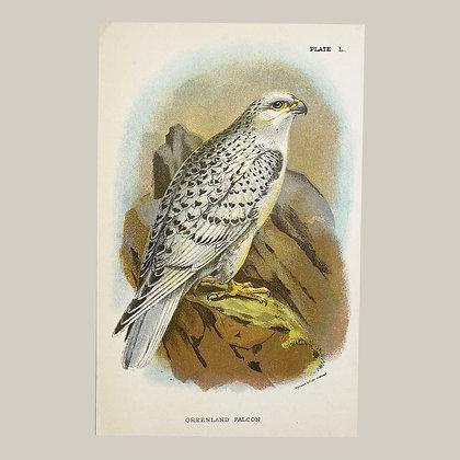 Greenland Falcon, Small Plate Print -1893