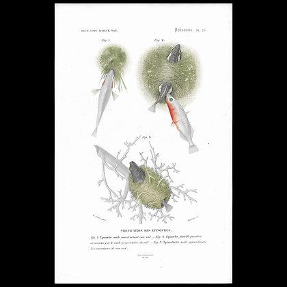 Stickleback -  1863 Print