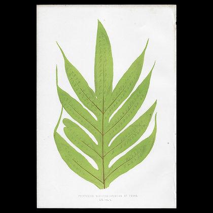 Polypodium saccatum - Circa 1860 Print