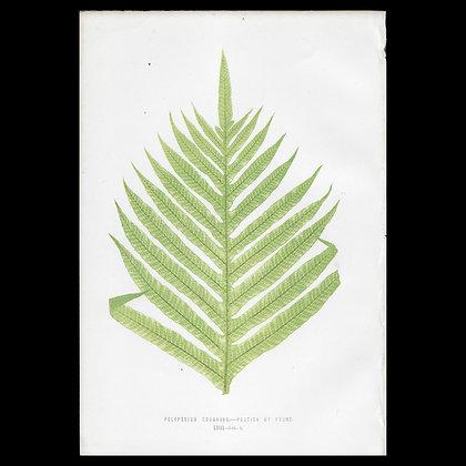 Polypodium coronans - Circa 1860 Print