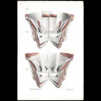 Plate 47 (2) - Abdominal Aponevroses. Original 1847 Print.