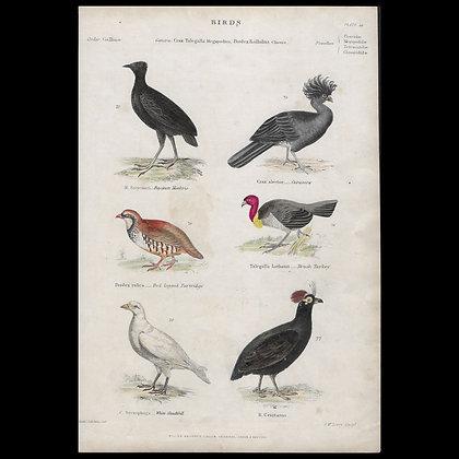 Various Birds including Brush Turkey  - Circa 1840 Hand coloured Print