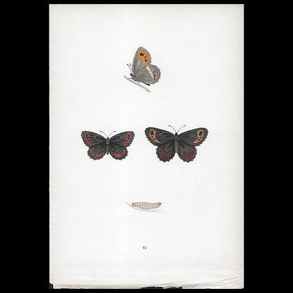 Arran Argus Butterfly - Circa 1860 Print