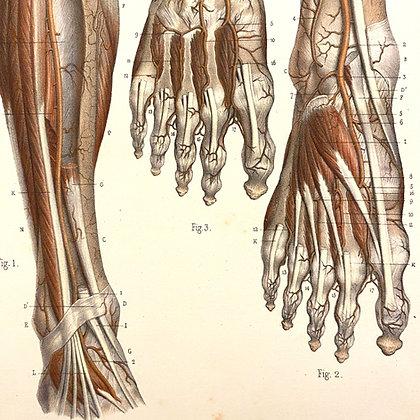 Tendons of Foot - Original Mounted 1847 Print