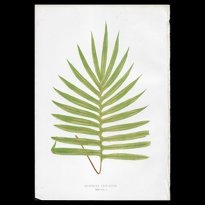 Polypodium propinquum - Circa 1860 Print