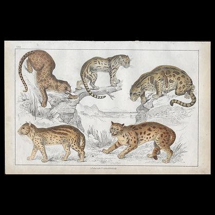 Cheetah - 1858 Hand Watercoloured Print