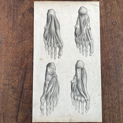 Large Lithograph Print Showing Muscles in Sole of Feet -  Plate 40