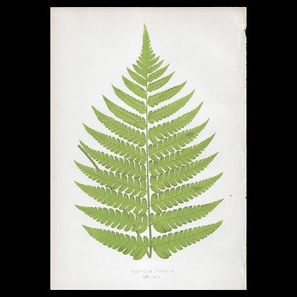 Polypodium fomosum - Circa 1860 Print
