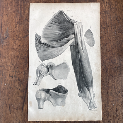 Large Lithograph Print Showing Muscles of the Shoulder -  Plate 45
