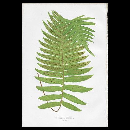 Polypodium culpodes - Circa 1860 Print