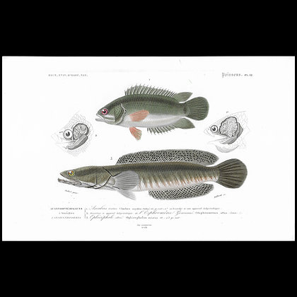Cimbing Perch and Snake Head -  1863 Print
