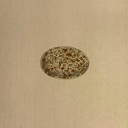 Sand Grouse, Egg Print Circa 1890