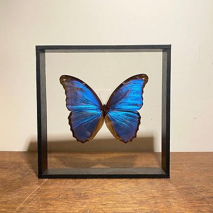 Blue Morpho  - Double Sided Glass Frame