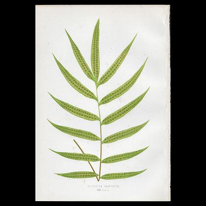 Polypodium cuspidatum - Circa 1860 Print