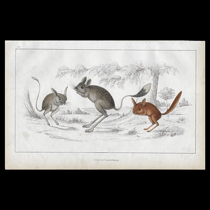 Jerboa - 1858 Hand Watercoloured Print