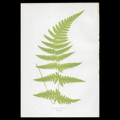 Polypodium auritum Fern - Circa 1860 Print