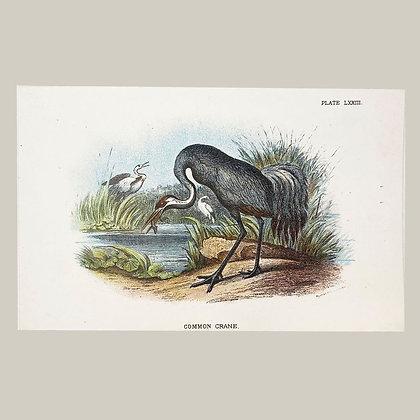 Common Crane, Small Plate Print -1893