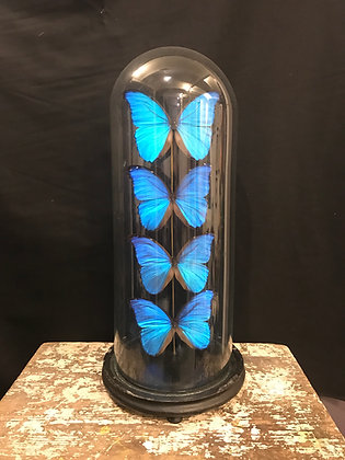 4 Morpho Didius in Victorian Glass Dome
