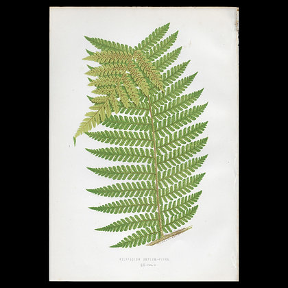 Polypodium amplum - Circa 1860 Print