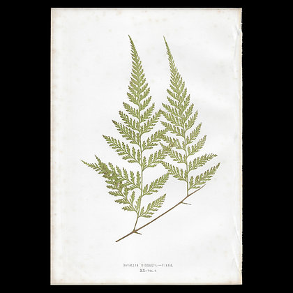 Davallia dissecta - Circa 1860 Print