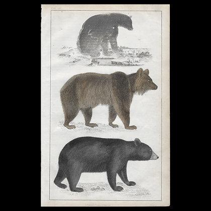 Bears - 1858 Hand Watercoloured Print