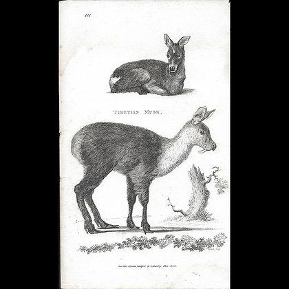 Tibetan Musk Deer - Plate 1801
