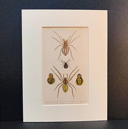 Arachnid Plate 16B - Hand Coloured Circa 1860