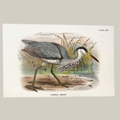 Common Heron, Small Plate Print -1893