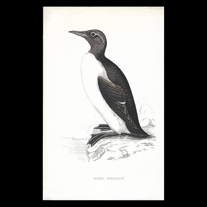Ringed Guillemot - Handcoloured Print Circa 1880