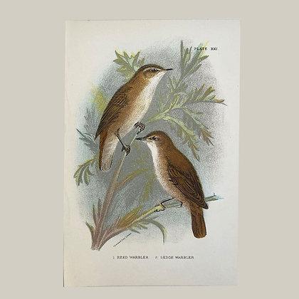 Reed Warbler & Sedge Warbler, Small Plate Print -1893