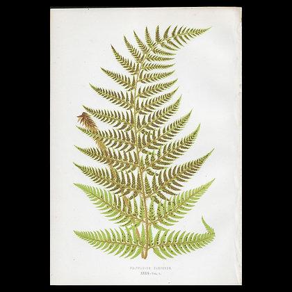 Polypodium drepanum - Circa 1860 Print