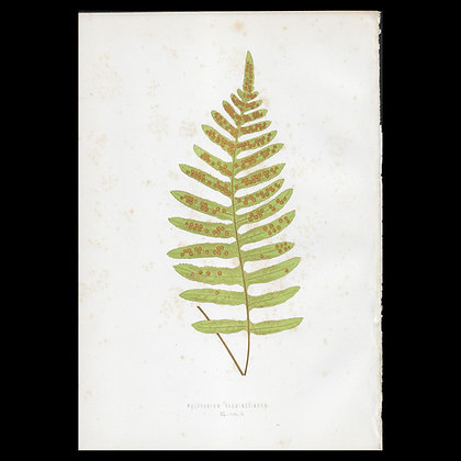 Polypodium karwinskianum - Circa 1860 Print