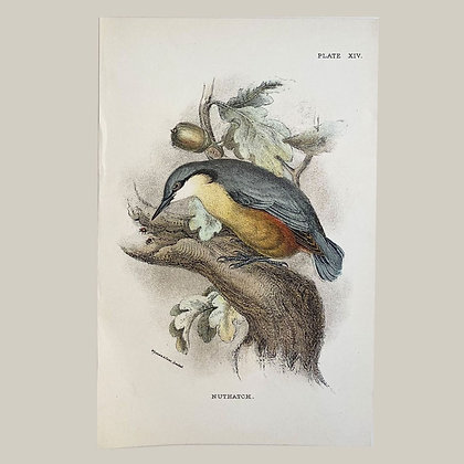 Nuthatch, Small Plate Print -1893