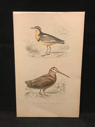 Egyptian Plover & European Woodcock Print 1863